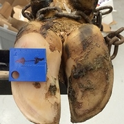 Evaluating the effect of different hoof trimming techniques and timing on dairy cow well-being and performance.
